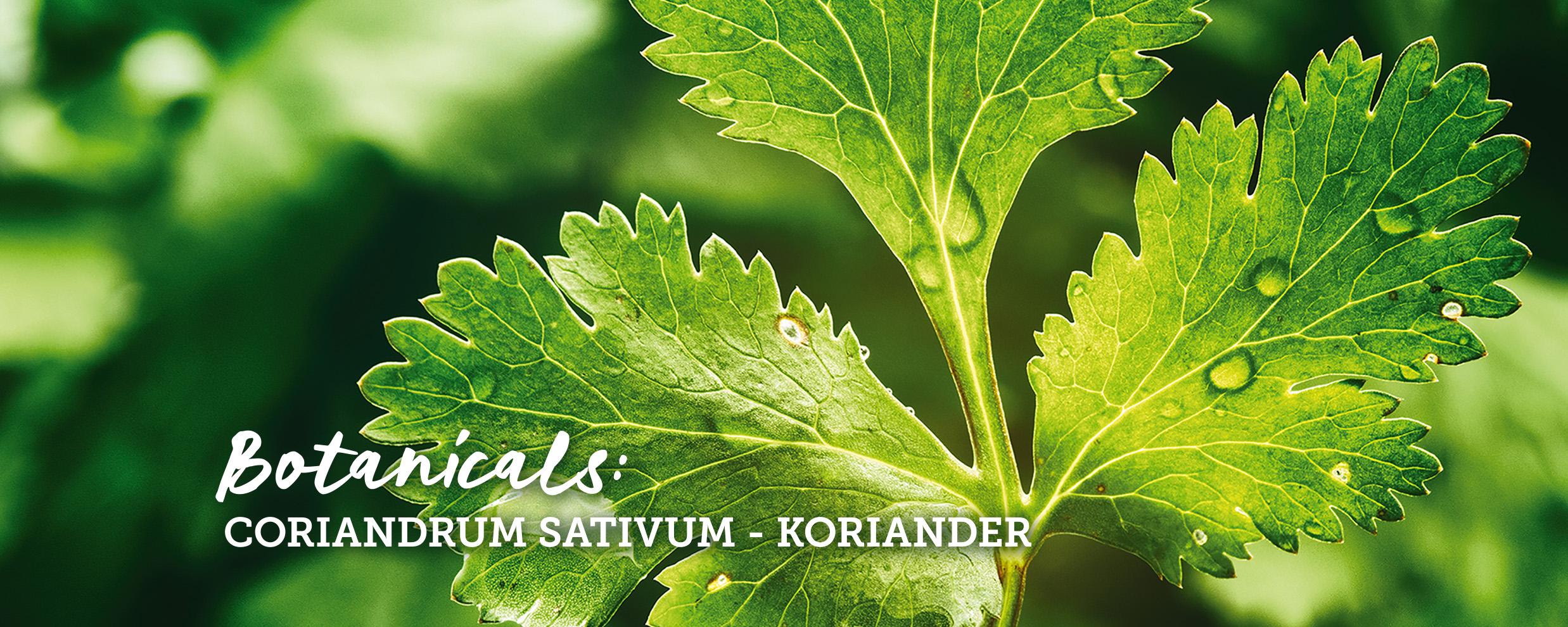 botanicals-koriander