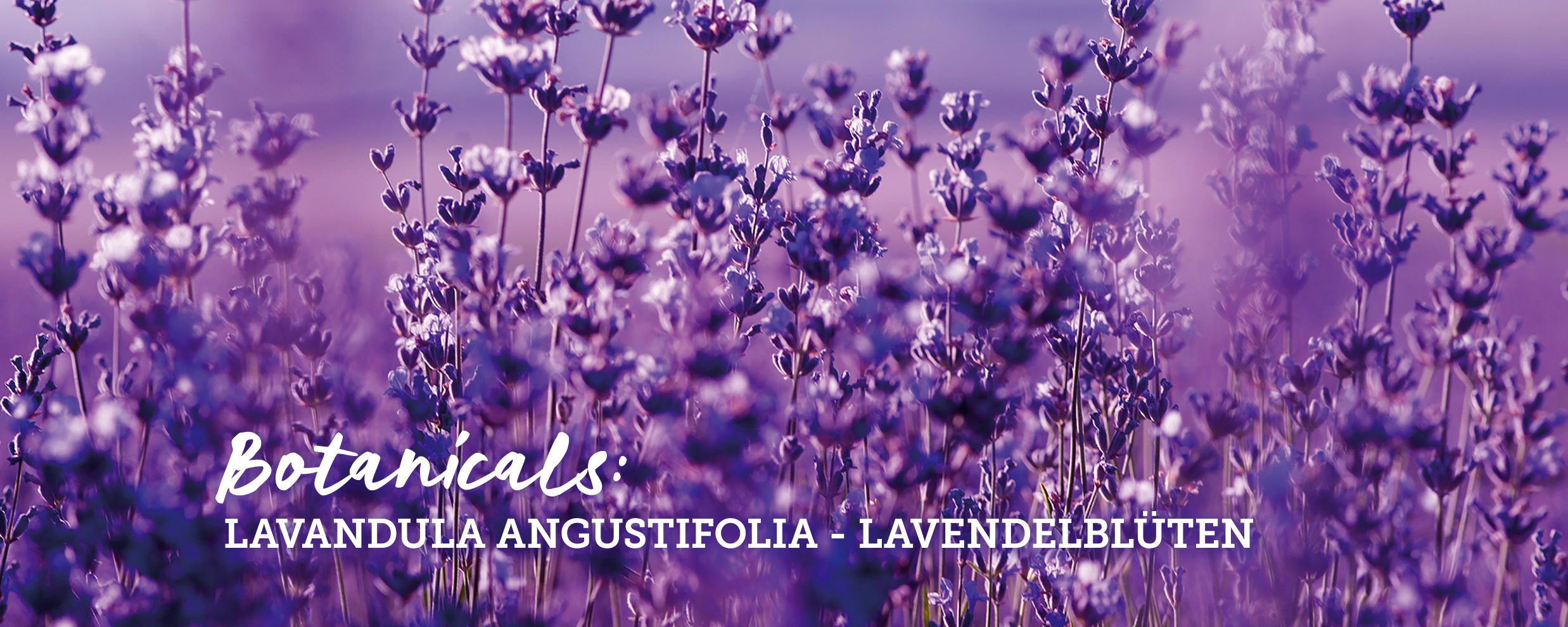botanicals-lavendelblueten